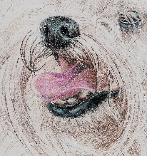 500x531 drawing a long haired dog with colored pencils part 2