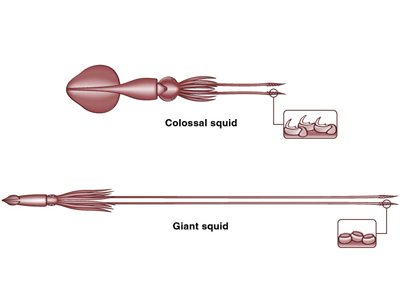 400x300 Colossal Squid And Giant Squidtext Only Version