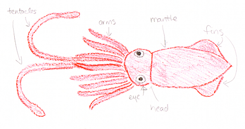 500x264 Giant Squid!