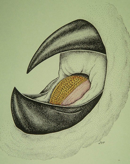 552x700 Giant Squid Beak And Radula Smithsonian Ocean Portal