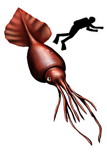 220x315 Colossal Squid