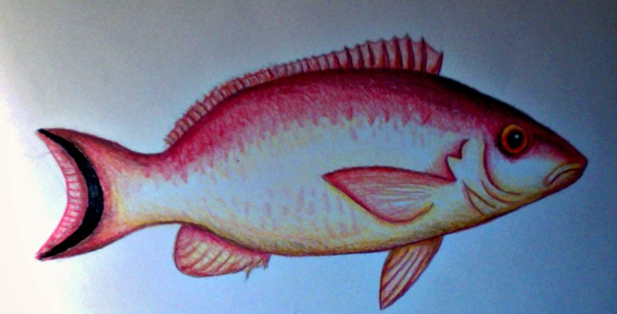 900x459 Colour Drawing Fish By Sarahstar123