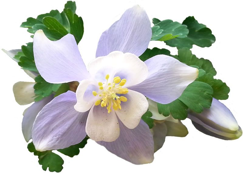 800x568 Blue Columbine Flower Free Artist Drawing Pattern For Art Lessons