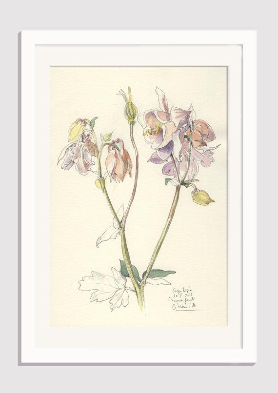 570x806 Columbine Flower Drawing 1 Original Aquilegia Pencil