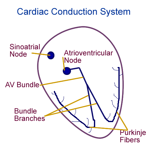 Simple heart diagram conduction online schematic diagram conduction drawing at getdrawings com free for personal use rh getdrawings com labeled heart diagram blood flow human heart blood flow diagram ccuart Choice Image