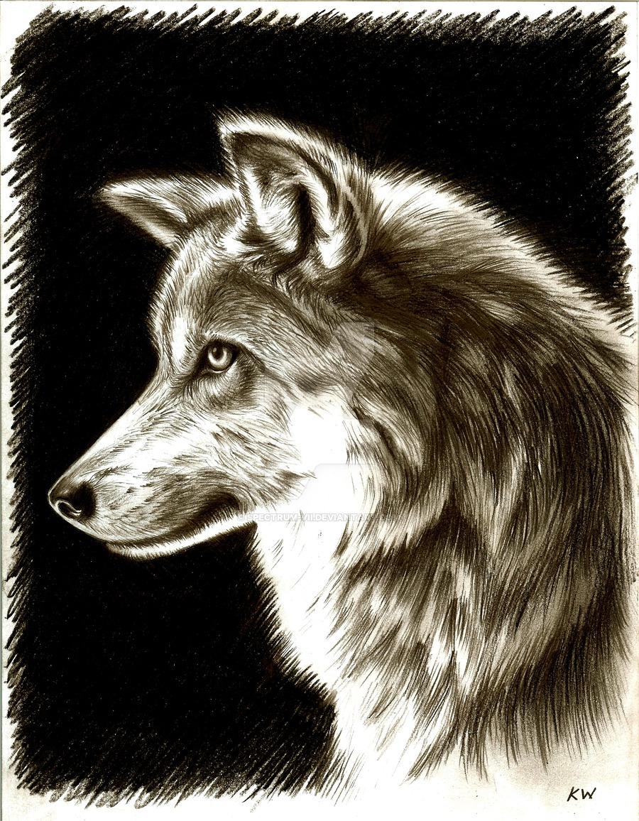 900x1156 Mexican Wolf Pencil Drawing By Spectrum Vii