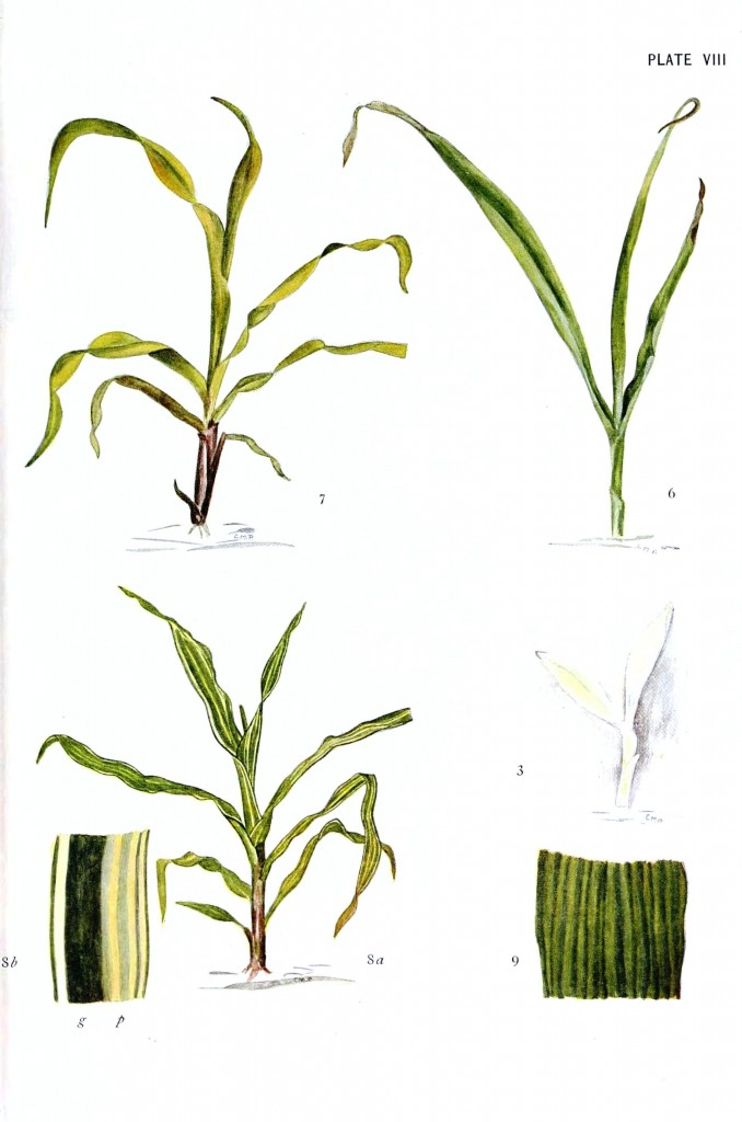 Corn Plant Drawing at GetDrawings.com | Free for personal use Corn ...