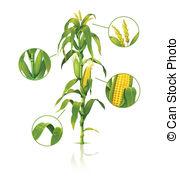179x178 Corn Plant Vector Clipart Illustrations. 15,621 Corn Plant Clip