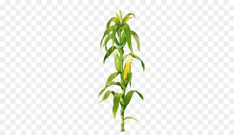 900x520 Maize Corn On The Cob Plant Drawing Clip Art