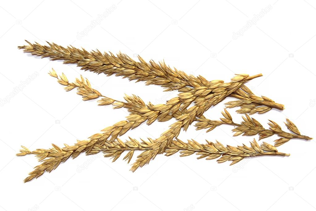 1023x682 Draw Cereal, Dry Corn Stalk, Ear, Grain Cereal Isolated On White