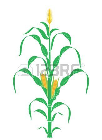 327x450 1,338 Corn Stalk Stock Illustrations, Cliparts And Royalty Free