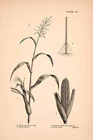 296x445 1883 Wood Engraving Maize Indian Corn Stalk