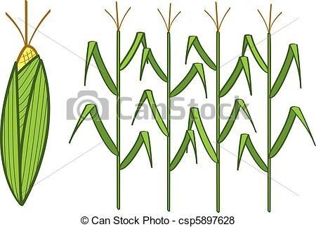 450x323 Corn Stalk Drawing