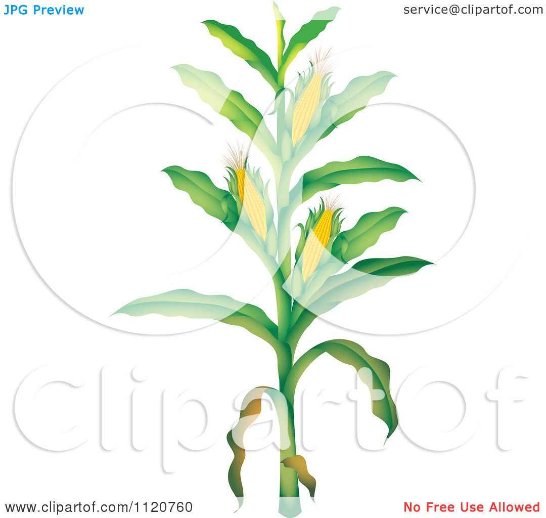 1080x1024 Corn Stalk Drawing Corn Crops Drawing Viewing, Corn Plant Clip Art
