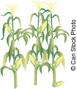 154x179 Corn Stalk Vector Clipart Illustrations. 961 Corn Stalk Clip Art