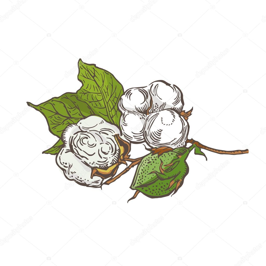 1024x1024 Cotton Vector Illustration. Cotton Isolated On White Background