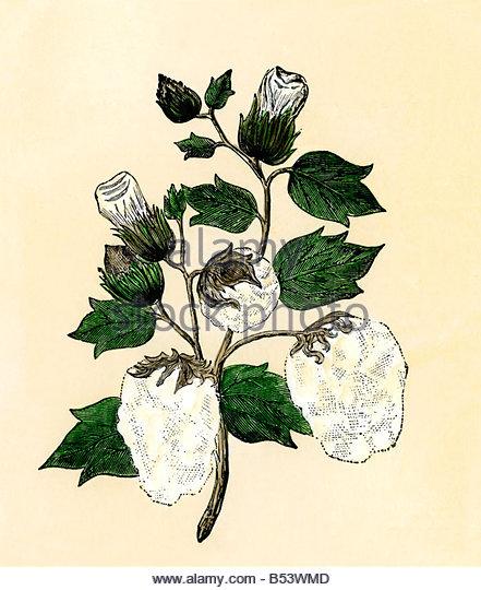 441x540 Cotton Plant Botanical Drawing Stock Photos Amp Cotton Plant
