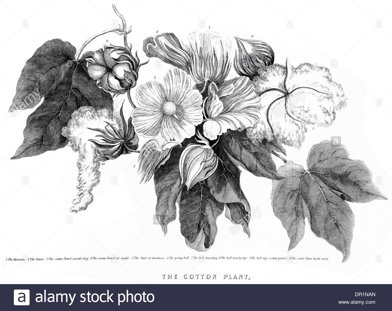 1300x1029 Cotton Plant Gossypium Cotton Genus. Gossypieae, Mallow Family