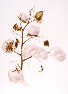 236x326 Drawing Cotton Bolls Beautiful, Tegninger Og Skitser