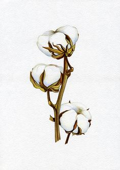 236x333 Image Result For Cotton Plant Drawing Cotton