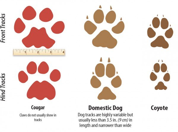 600x446 How To Identify A Mountain Lion Track