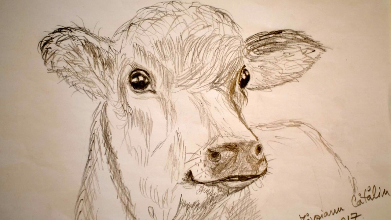 1280x720 Cum Se Deseneaza Un Vitel ( How To Draw A Calf)
