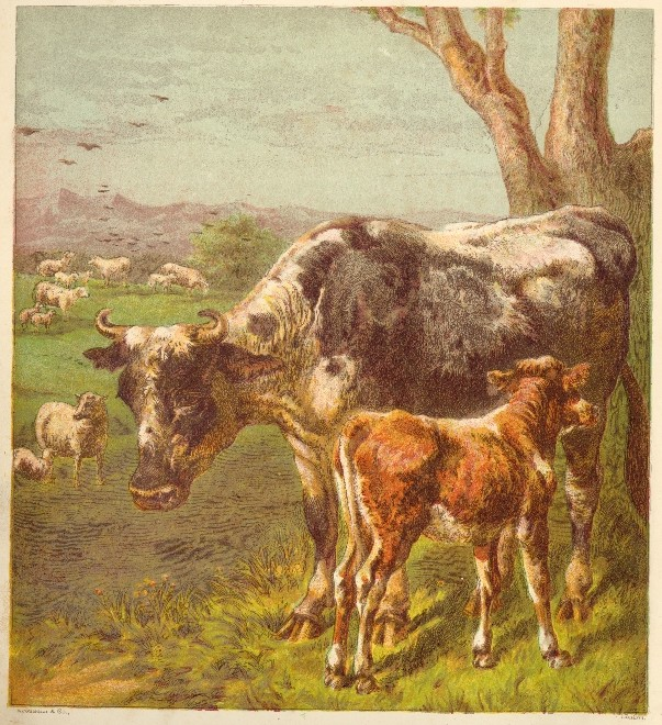 603x660 Cow And Calf Drawing