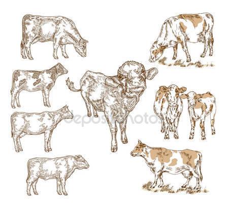 449x406 Hand Drawn Farm Animals. Milk Cow, Cattle, Bull, Calf Isolted