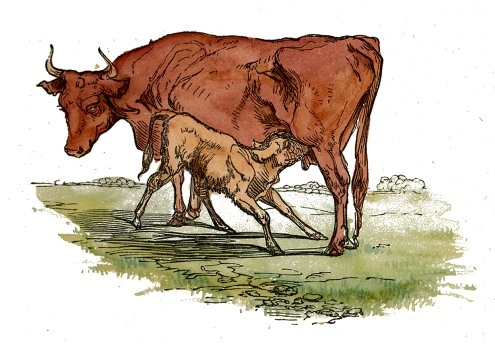 495x345 Mother Amp Calf Drawing