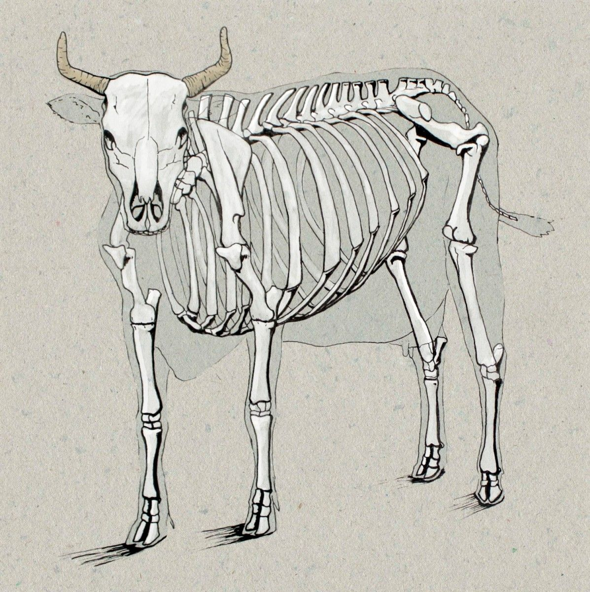 1197x1200 Cow Anatomy Drawing Anatomy Drawings Anatomy