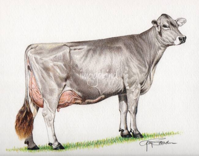 650x508 Stunning Cow Pencil Drawings And Illustrations For Sale On Fine