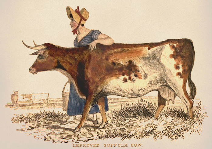 698x492 Suffolk Cow Drawing