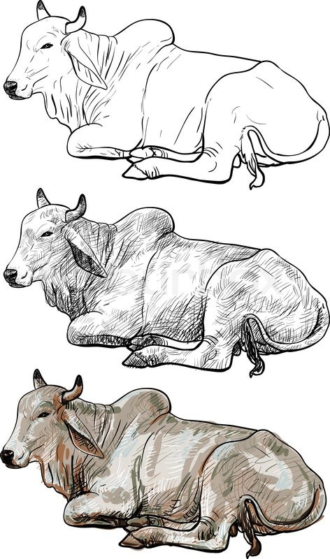 472x800 Drawing Of Resting White Cow,american Brahman Stock Vector