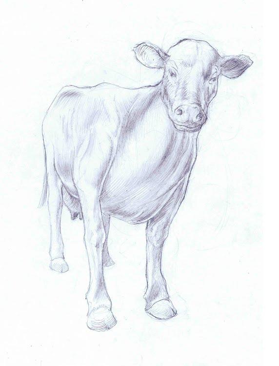 572x750 Jed Alexander Cow Sketch