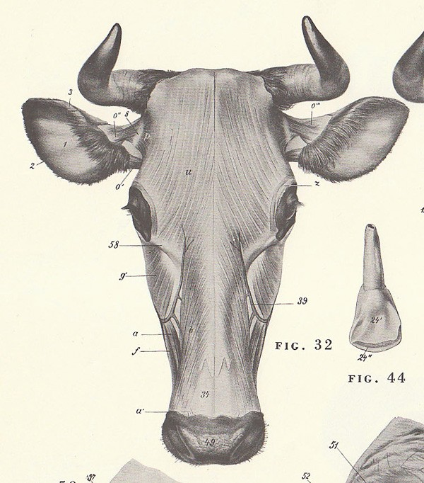 600x682 Cow Head Anatomy Image Search Results Cow Anatomy