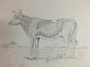 300x225 Cow Pencil Drawing Drawings