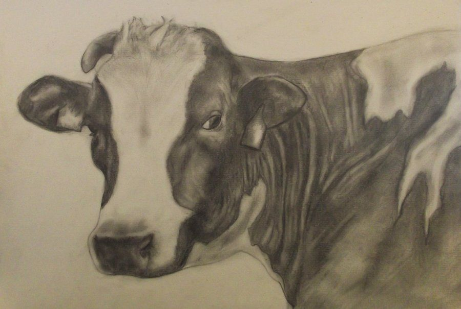 900x605 Cow Pencil Drawing By Njsfx Art For Em Cow
