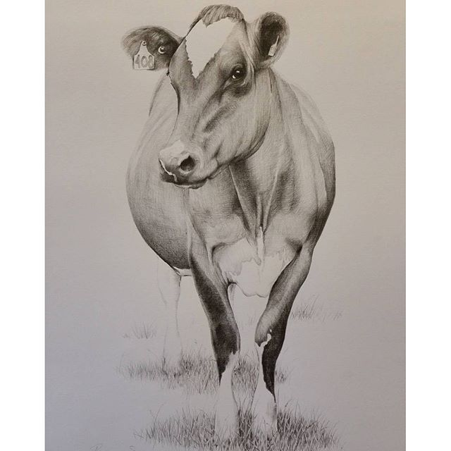 640x640 Cow Art. Pencil Drawing By Rebecca Simmonds, 26 X 36 Cm. See