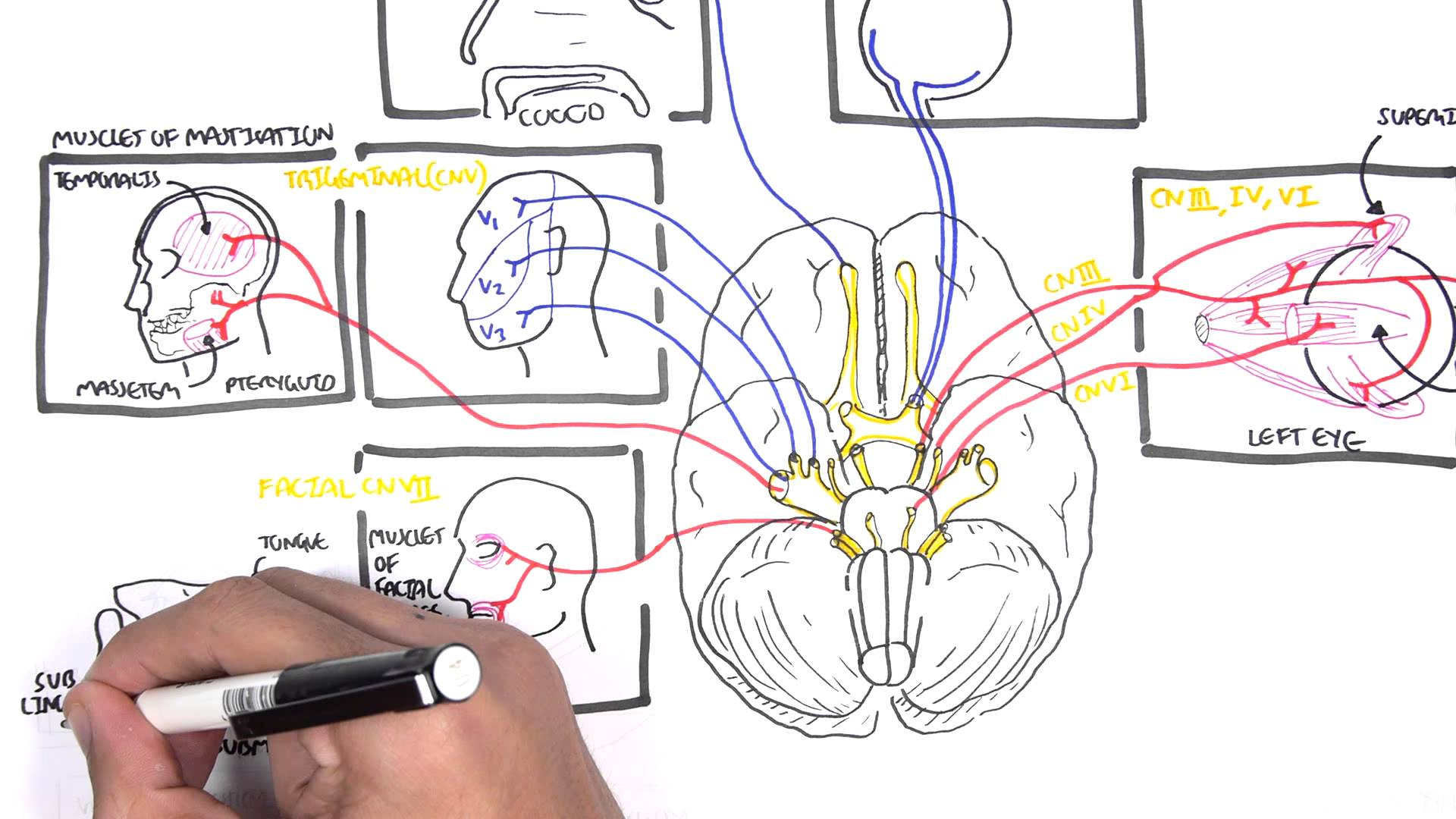 Cranial Nerves Drawing at GetDrawings.com | Free for personal use ...