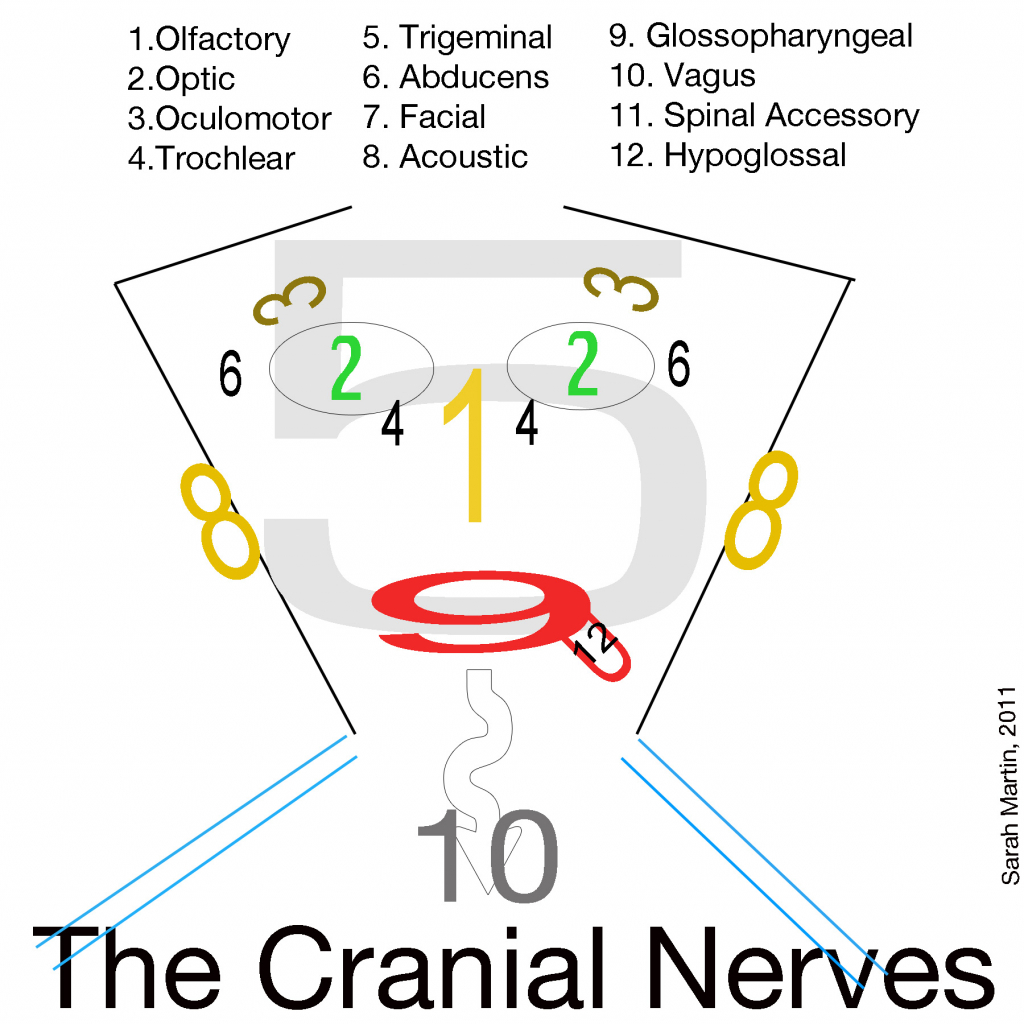 worksheet Cranial Nerves Worksheet cranial nerves drawing at getdrawings com free for personal use 1024x1024 of the face and 1000 images about nursing