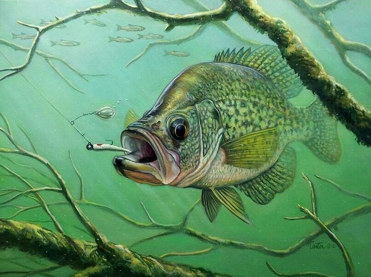 Crappie Drawing at GetDrawings.com