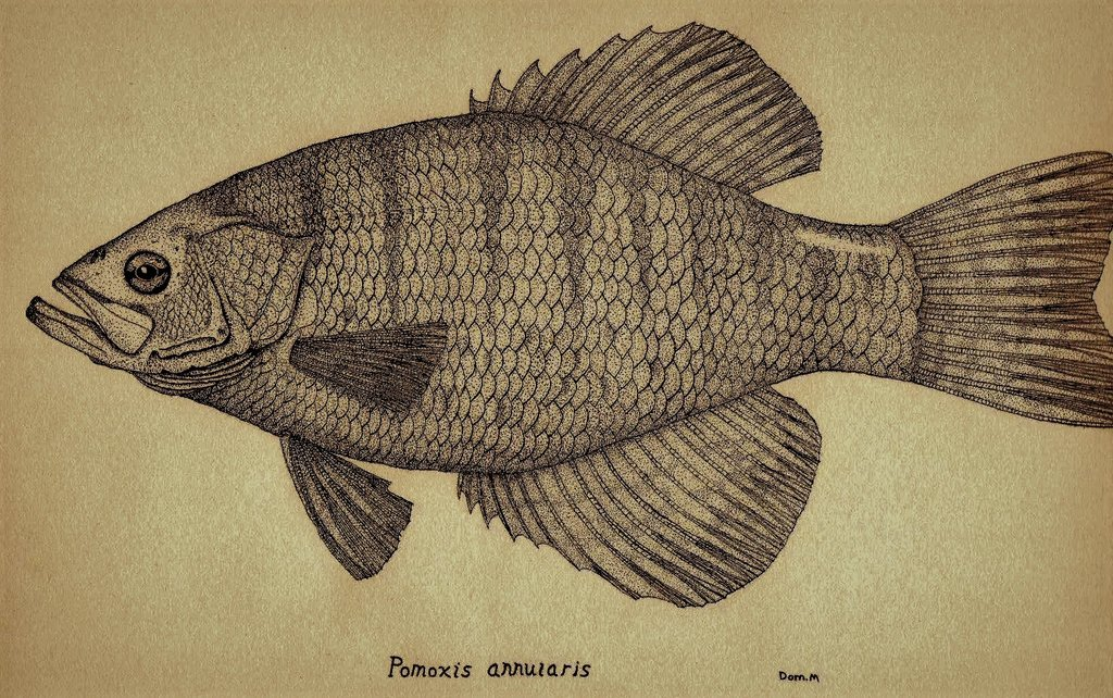 1024x642 White Crappie Stipple Drawing. By Vetterli71
