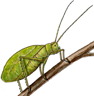 Cricket insect drawing at getdrawings free for personal use 306x313 classification ccuart Images