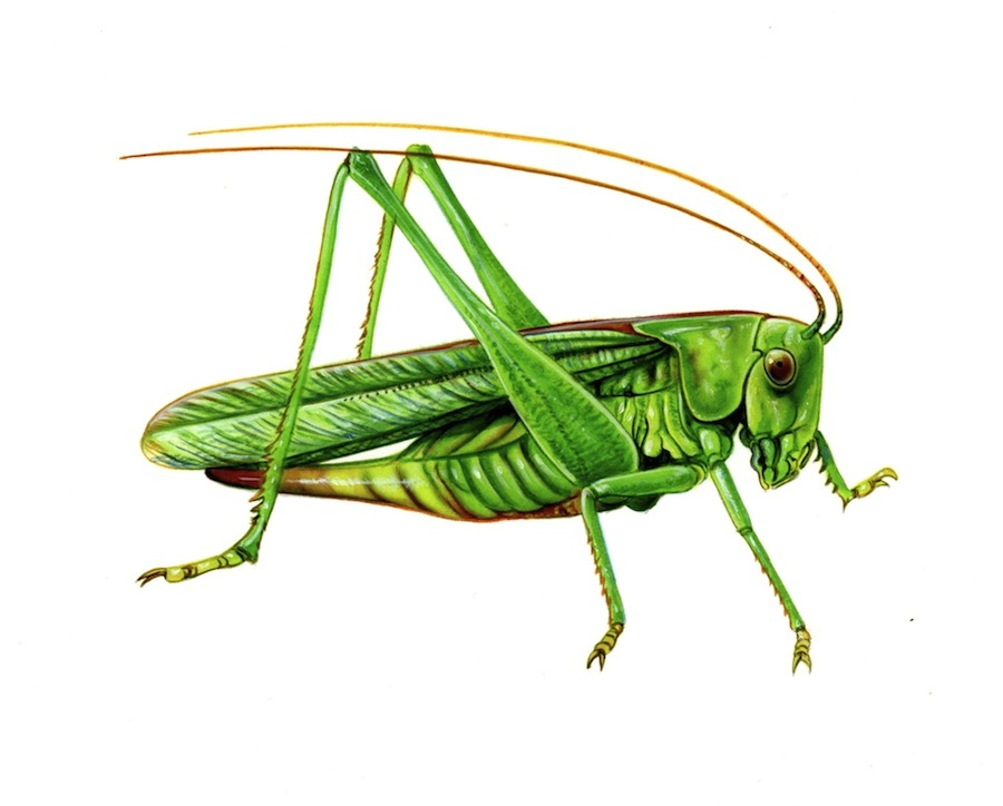 cricket insect drawing at getdrawings com free for free frog clip art downloads free frog clipart for teachers