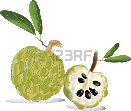 450x383 273 Custard Apple Stock Vector Illustration And Royalty Free
