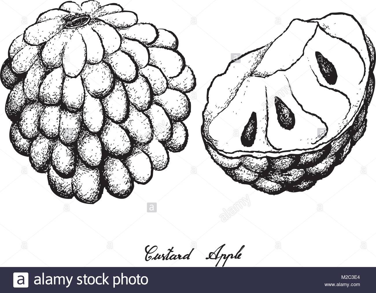 1300x1014 Tropical Fruit, Illustration Hand Drawn Sketch Of Custard Apple