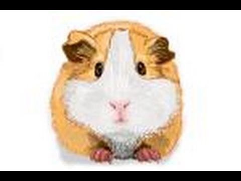 480x360 How To Draw A Guinea Pig