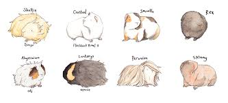 333x151 Image Result For Cute Guinea Pig Drawing Guinea Pigs