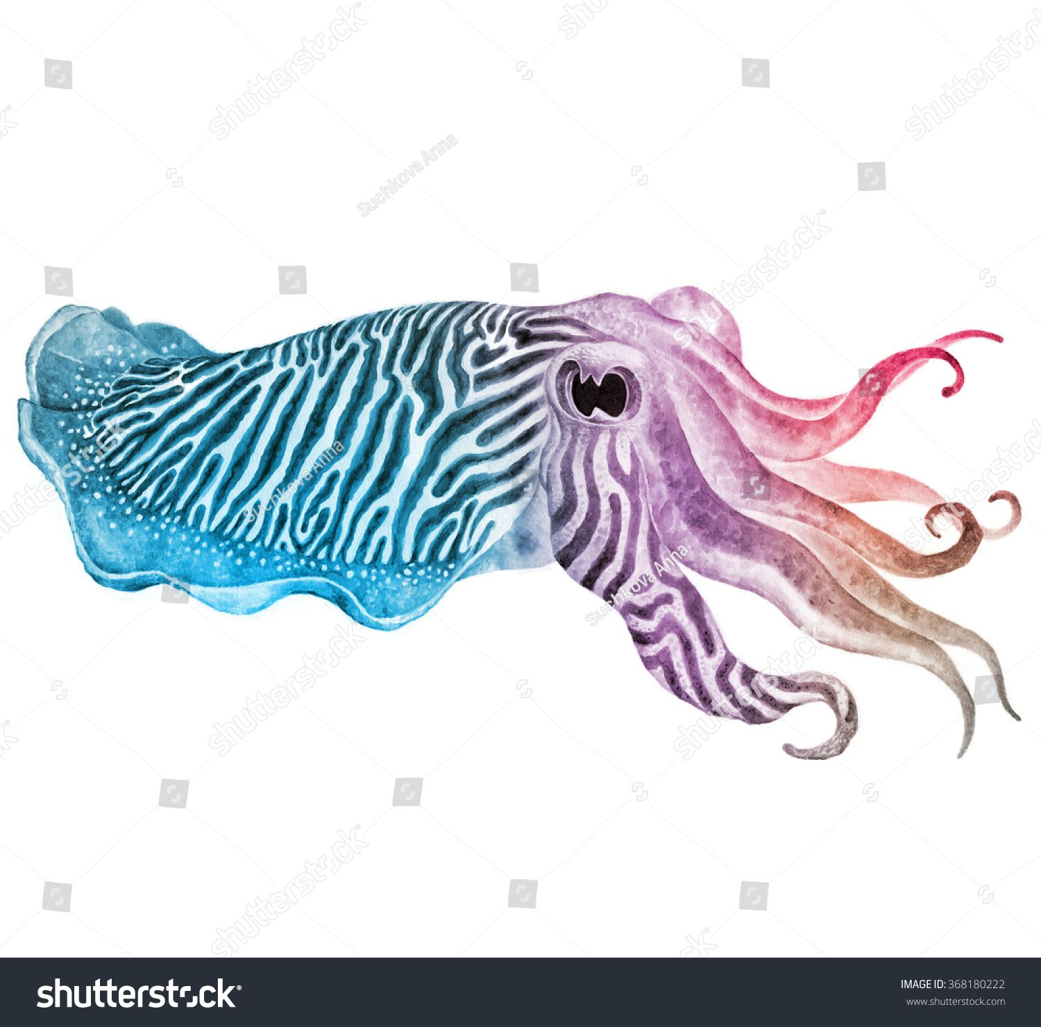 1500x1480 Striped Cuttlefish Ink Watercolor Drawing Stock Photo