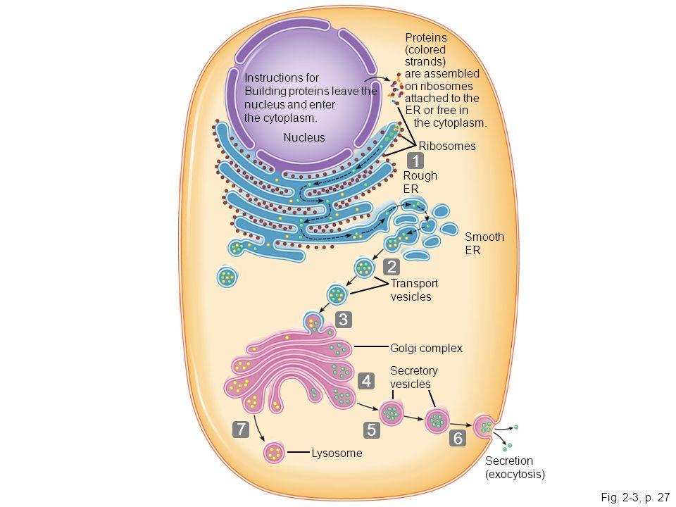 960x720 Cytoplasm Drawing 51912 Baidata